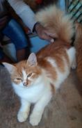 Persian cat (Limited)