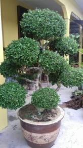 Pokok bonsai.kesinai .orkid.bunga