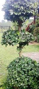 Bonsai pokok sinai termasuk pasu