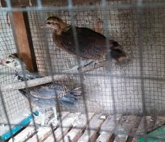 Anak Muda ayam hutan 3 lapis Trio