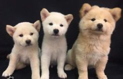 Imported Quality Shiba Inu Puppy * WHITE COLOUR