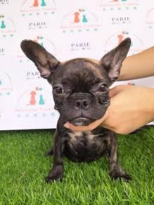 MKA Brindle colour French Bulldog puppy