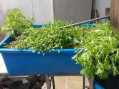 Mature Aquaponics System brought back Singapore