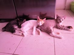 5 DSH kittens looking for forever home