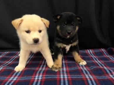 Imported Shiba Inu Puppy * White Male