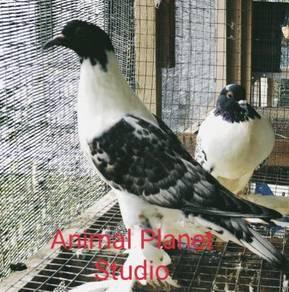 Hana Pouter Pigeon (Merpati Hias)