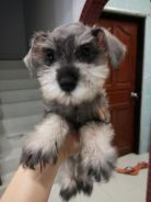 Miniature schnauzer with mka