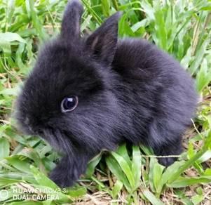 Mini LionDwarf rabbit baby