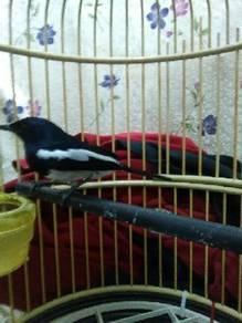 Burung murai kampung/cacing.