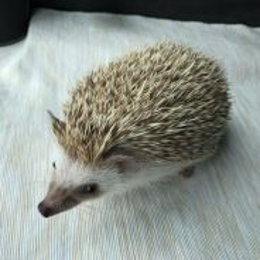 Hedgehog male 4 month