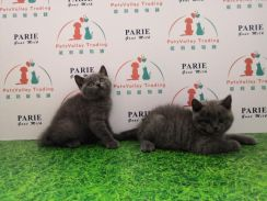 British Shorthair Cat / Kitten * MALE