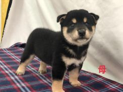 Imported Shiba Inu Puppy * Black Tan Female