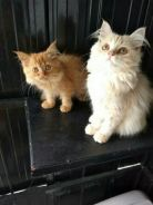 Kucing Parsi / Persian Kitten Cat (Male/Female)