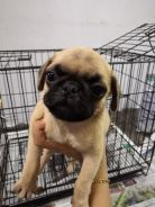Quality Cream Pug Puppy * F1