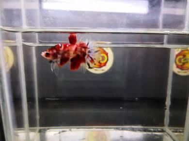 Betta Fish - Ikan Laga