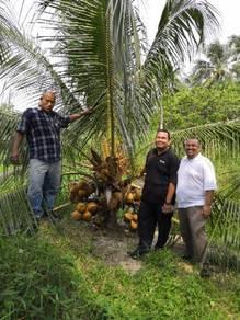 Benih kelapa gadingrendah/sggasli
