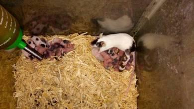 Mice tikus