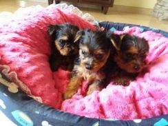 Yorkshire Terrier Quality Puppies