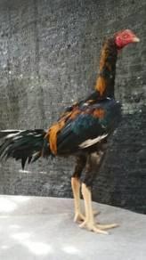Ayam LHK 4 bulan