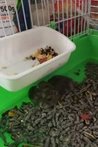 Baby winter hamster