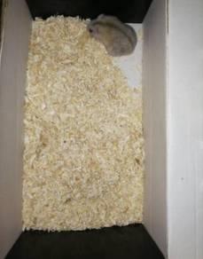Winter hamster mini hamster