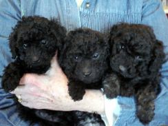 Tiny Black Poodle Puppy Cute Cute 2018