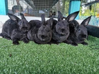 Arnab rabbit minirex bulu karpet