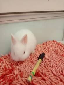 Arnab / Rabbit Netherland Dwarf baby