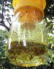 Fruit fly trap ( perangkap lalat buah )