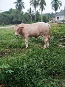 Lembu jantan
