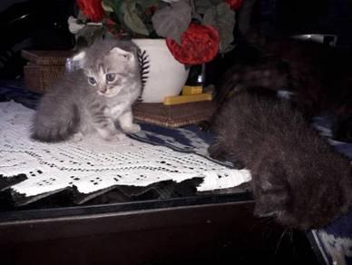 Kucing scottishfold
