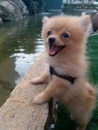 Pomeranian Puppy Dog