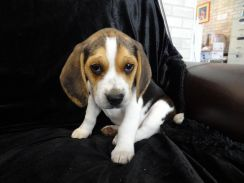 Intelligent Beagles puppies now available for re