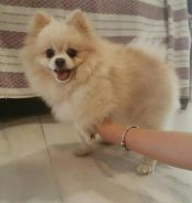 Pomeranian pure breed