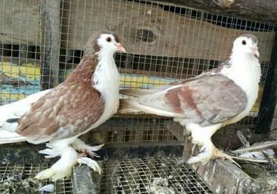 Burung Merpati Lahore Induk