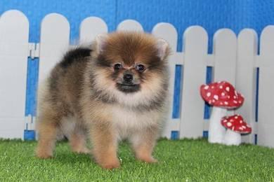 Fur Ball Pomeranian Taiwan pup