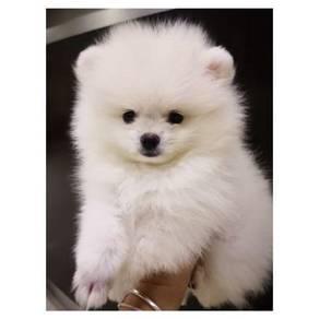 High Quality Small Size White Pomeranian
