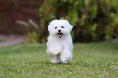 Taiwan Bloodline Maltese Puppy
