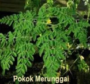 Keratan pokok merunggai (moringa,kelur)