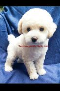 Taiwan champion line white poodle &MKA