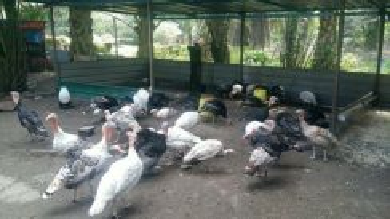Ayam belanda  turkey for sale