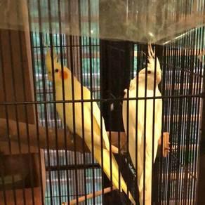 Parrot / cocakteil
