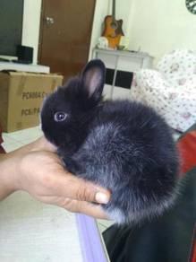 Rabbit / arnab netherland dwarf mix