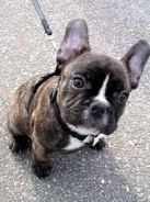 French bulldog Male Puppy Dark Brindle Colour