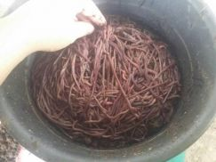 Vermicompost Worm - African Night Crawler (ANC)