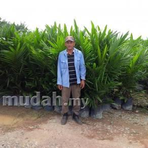 Benih Anak Pokok Sawit DXP SIME DARBY CALIX600