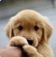 Where to buy golden retriever puppies in malaysia