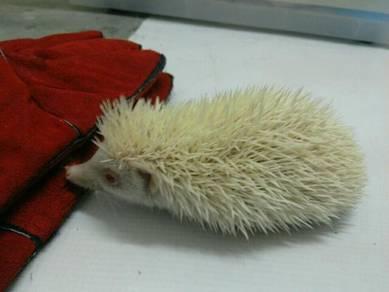Hedgehog / Landak Mini