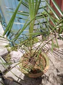 Dates plants