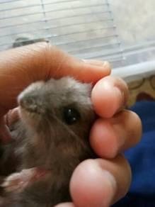 Hamster 2 ekor(jantan)